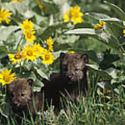 Timber Wolf Pups And Flowers North Art Print