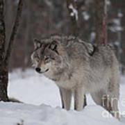 Timberwolf Series 4 Art Print