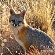 Fox Timmy At Sunset Art Print