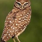 Tiny Burrowing Owl Art Print