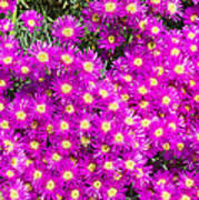 Tiny Dancer - Colorful Midday Flowers Lampranthus Amoenus Flower In Bloom In Spring. Art Print