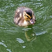 Tiny Duckling Art Print