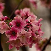 Tiny Pink Blossoms Art Print