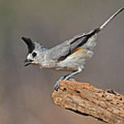 Titmouse Preparing For Takeoff Art Print