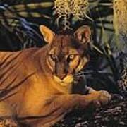 Tk0397, Thomas Kitchin Florida Panther Art Print