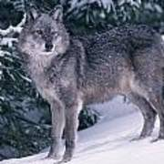 T.kitchin, 19821c Gray Wolf, Winter Art Print