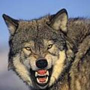 T.kitchin Wolf Snarling Print by First Light