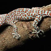 Tokay Gecko In Defensive Display Art Print