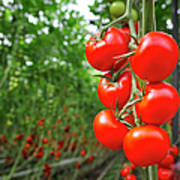 Tomato Greenhouse Art Print