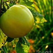 Tomato On The Vine Art Print