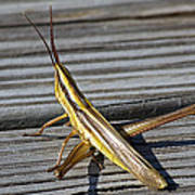 Toothpick Grasshopper Art Print