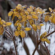 Toronto Ice Storm 2013 - My Garden In The Morning Art Print