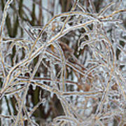 Toronto Ice Storm 2013 - Pale Frozen Grasses  Art Print