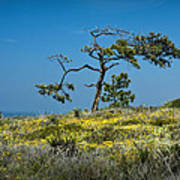 Torrey Pine On The Cliffs At Torrey Pines State Natural Reserve Art Print