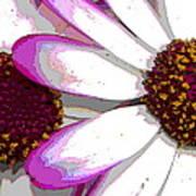 Touch Of Pink Osteospermum Trio B Art Print