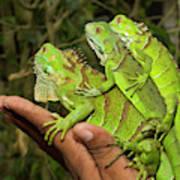 Tourist With Juvenile Green Iguanas Art Print