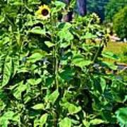 Towering Sunflowers Art Print