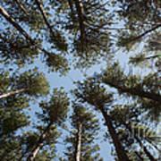 Towering White Pines Art Print