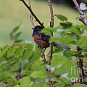 Towhee Keeps Watch On High Art Print by Kym Backland
