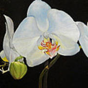 Translucent Orchids Art Print
