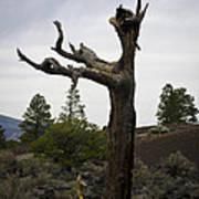 Tree At Lava Trail Art Print