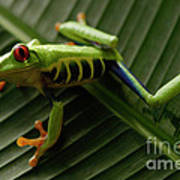 Tree Frog 16 Art Print