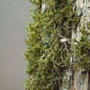 Tree Moss Closeup 2013 Art Print
