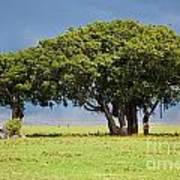 Tree On Savannah. Ngorongoro In Tanzania Art Print