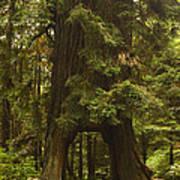Tree Redwood Ca 7 Art Print