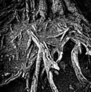 Tree Roots Black And White Art Print by Matthias Hauser
