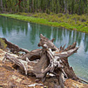 Tree Stump In Des Chutes Nf-or Art Print