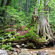 Tree Stump - White Mountains New Hampshire Art Print