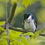Tree Swallow Pictures 39 Art Print