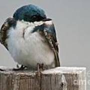 Tree Swallow Pictures 47 Art Print