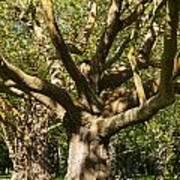 Tree Trunk And Limbs Art Print