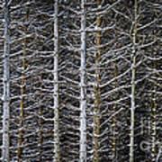 Tree Trunks In Winter Art Print by Elena Elisseeva