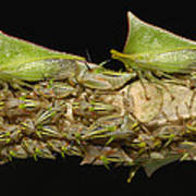 Treehoppers And Nymphs Mindo Ecuador Art Print