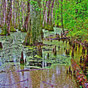 Trees And Knees In Tupelo/cypress Swamp At Mile 122 Of Natchez Trace Parkway-mississippi Art Print