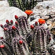 Trichocereus Cactus Flowers Art Print