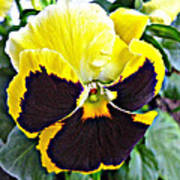 Tricolor Pansy Art Print