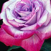 Tricolor Rose Art Print
