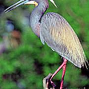 Tricolored Heron In Breeding Plumage Art Print