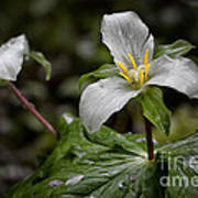 Trillium - After The Rain Art Print