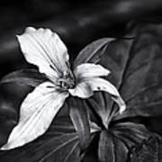 Trillium - Black And White Art Print