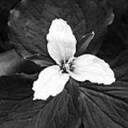 Trillium In Black And White Art Print