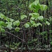 Trilliums Grow Deep Inside Forest Art Print