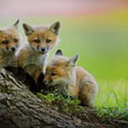 Trio Of Fox Kits Art Print
