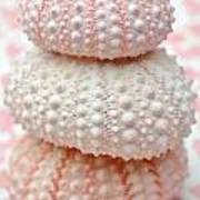 Trio Of Pink Sea Urchins Art Print