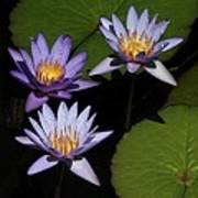 Trio Of Purple Water Lilies Art Print