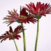 Trio Of Red Gerbera Daisys Art Print
